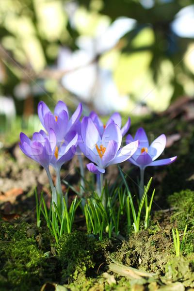 Сток-фото: красивой · Blossom · трава · саду · группа