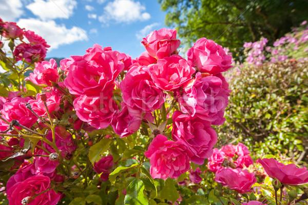 Pink roses in the Garden of Eden Stock photo © Julietphotography