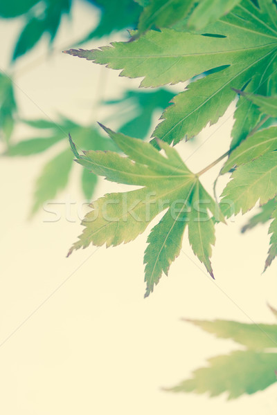 Stock photo: Green leaves of Japanese maple tree, background