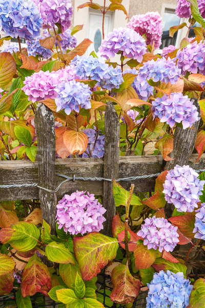 Violet, pink and blue hydrangea blossom Stock photo © Julietphotography