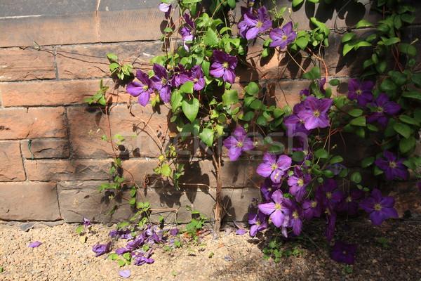Beutiful violet clematis Stock photo © Julietphotography