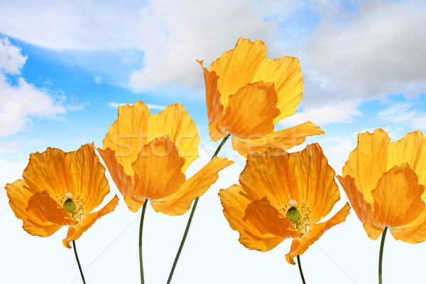Stock photo: Bright, orange poppies on the sky background