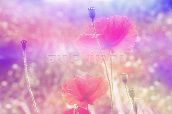 Beautiful red poppies in artistic soft colors with bokeh lights  Stock photo © Julietphotography