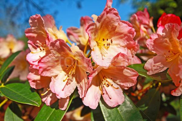 Mooie roze azalea bloemen park Stockfoto © Julietphotography