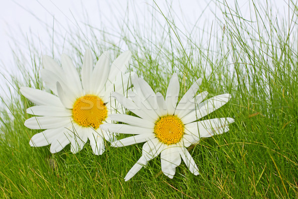 Beautiful marguerites on the grass  Stock photo © Julietphotography