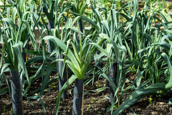 Puerro creciente jardín grupo granja suciedad Foto stock © Julietphotography