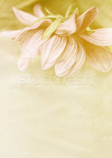 Beautiful vintage background with dahlia  Stock photo © Julietphotography