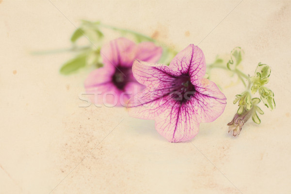 Pretty floral vintage background with surfinia flowers  Stock photo © Julietphotography