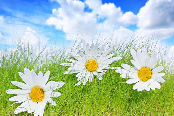 Spring background with daisies Stock photo © Julietphotography