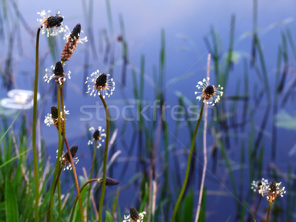 Wildflowers and water Stock photo © Julietphotography