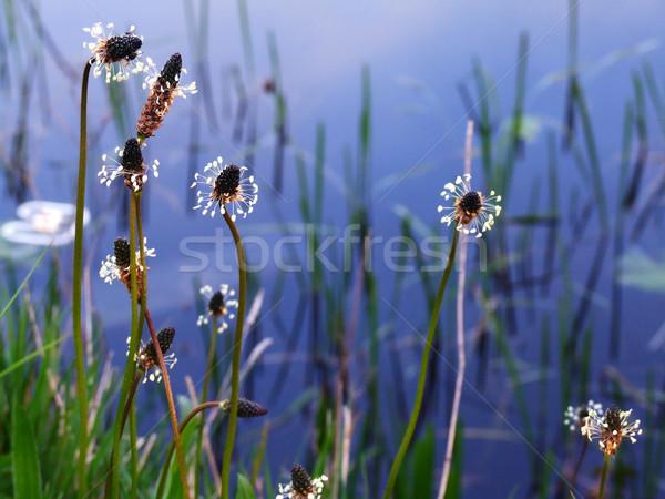 Vadvirágok víz tavasz terv háttér szépség Stock fotó © Julietphotography