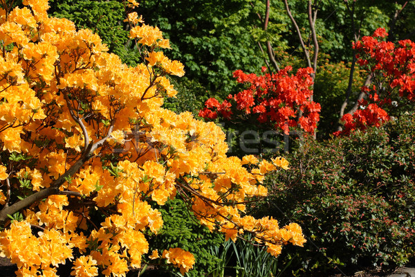 Beautiful rhododendron flowers in the park  Stock photo © Julietphotography