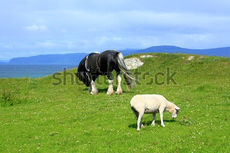 Sheep and horses in the fields of Iona in the Inner Hebrides, Scotland Stock photo © Julietphotography
