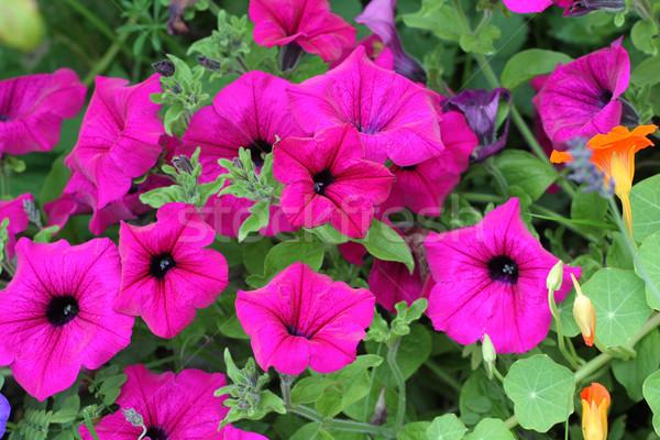 Beautiful petunia flowers  Stock photo © Julietphotography
