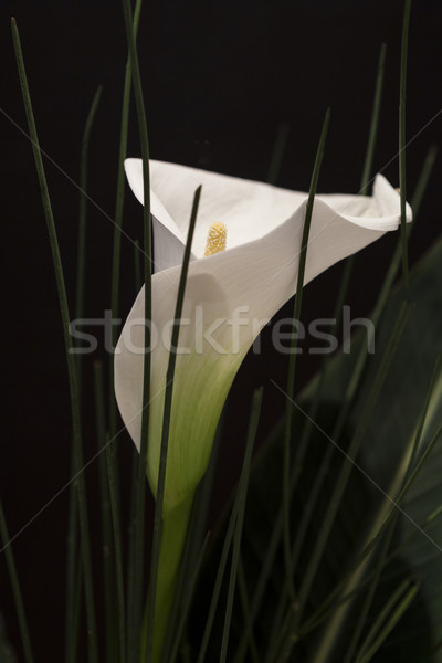 White Calla Lili in front of black Background macro Detail Stock photo © juniart