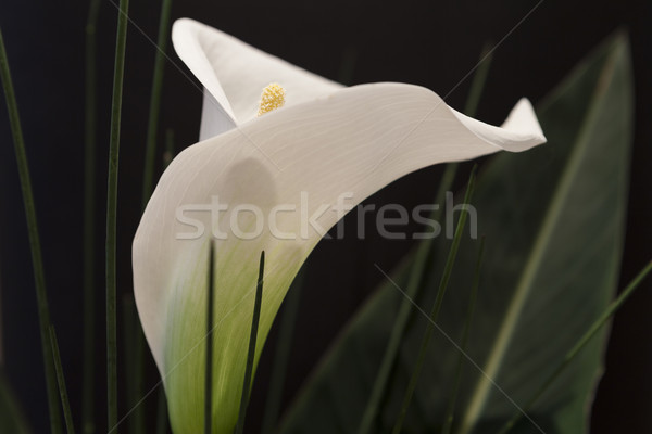 Branco preto macro pormenor grama primavera Foto stock © juniart