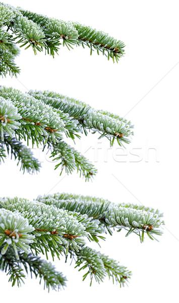 Noël temps evergreen épinette arbre gel Photo stock © kaczor58