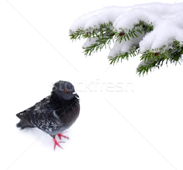 Noël temps congelés pigeon neige arbre Photo stock © kaczor58