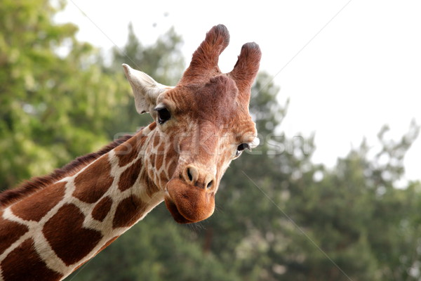 Stock photo: Portrait of a young giraffe