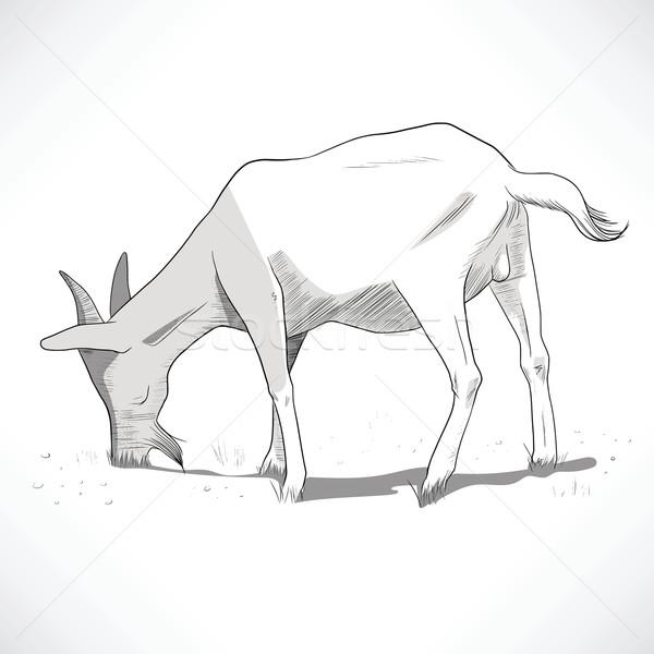 Stock photo: Horned Goat Grazing