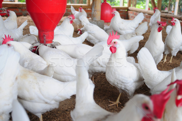 Poultry farm. Stock photo © karammiri