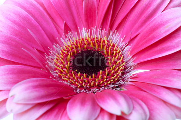 Flor-de-rosa isolado branco natureza verão Foto stock © karandaev