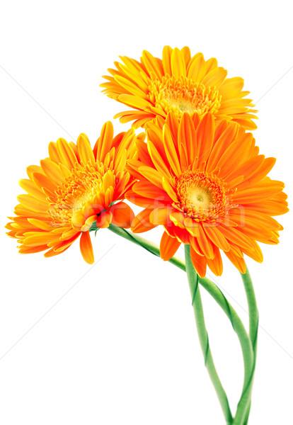 Three orange gerbera flowers Stock photo © karandaev