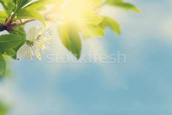Apple blossom tree in front of blue sky Stock photo © karandaev