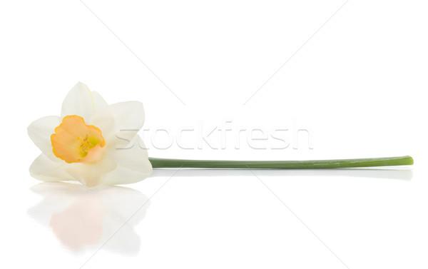 白 スイセン 孤立した 花 自然 背景 ストックフォト © karandaev