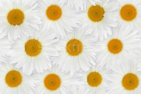 Chamomile flower background Stock photo © karandaev