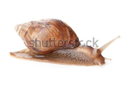 Сток-фото: улитки · изолированный · белый · природы · скорости · животные