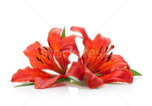 Сток-фото: два · красный · Лилия · изолированный · белый · цветок