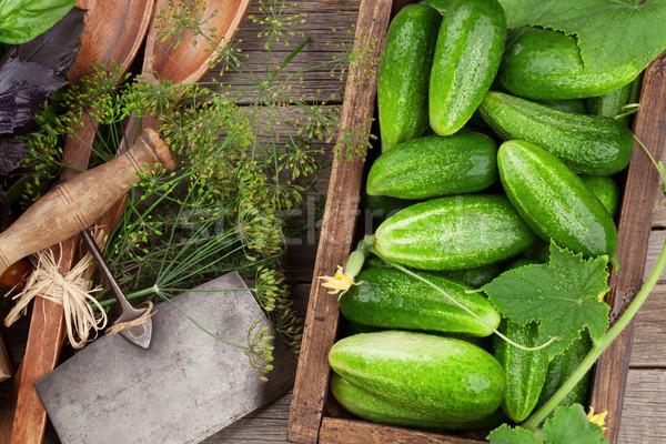 Fresh garden cucumbers Stock photo © karandaev