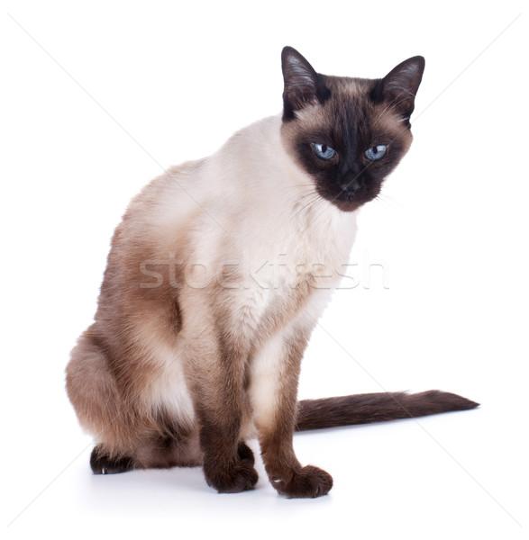 シャム猫 孤立した 白 眼 顔 背景 ストックフォト © karandaev
