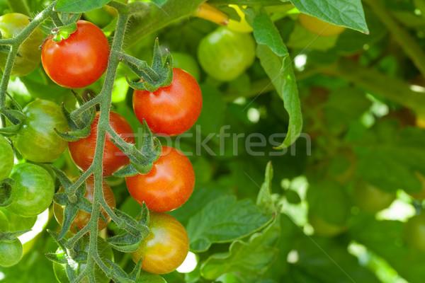 Homegrown cherry tomatoes Stock photo © karandaev