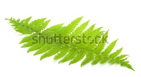 Yeşil eğreltiotu yaprak yalıtılmış beyaz arka plan Stok fotoğraf © karandaev