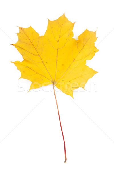 Coloré automne feuille d'érable isolé blanche Photo stock © karandaev