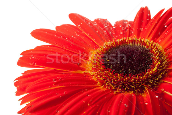Stock photo: Red gerbera flower
