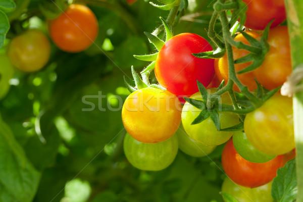 Tomates cereja jardim natureza fundo verde planta Foto stock © karandaev
