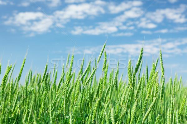 Zöld búzamező kék ég napos nyár nap Stock fotó © karandaev