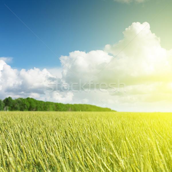 ストックフォト: 金 · 麦畑 · 青空 · 晴れた · 夏 · 日