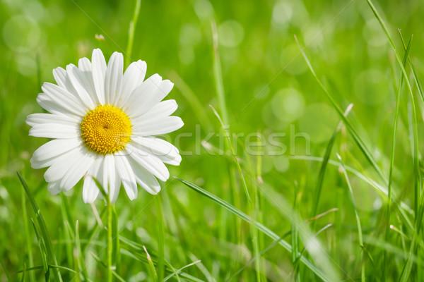 Kamille bloem grasveld zonnige zomer dag Stockfoto © karandaev