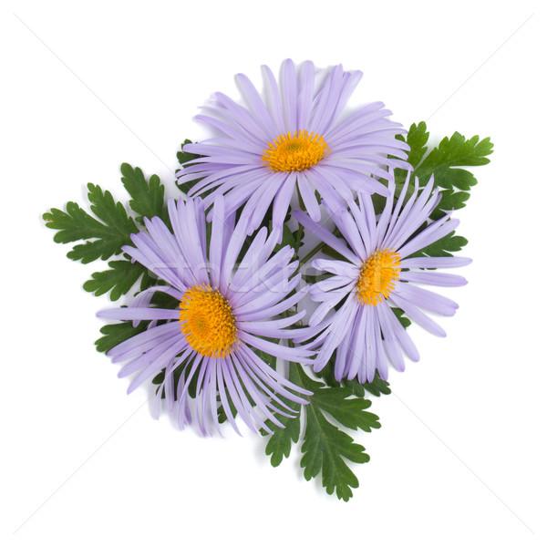 Blau Kamille Blumen isoliert weiß Blume Stock foto © karandaev