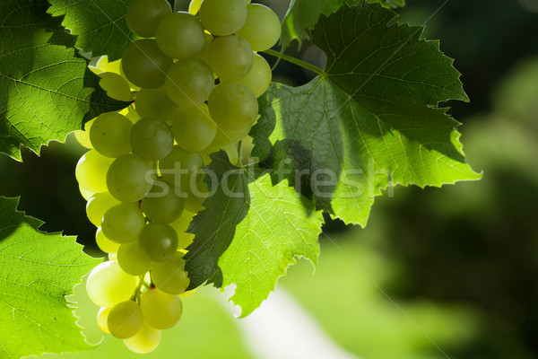 Vine and bunch of grapes Stock photo © karandaev