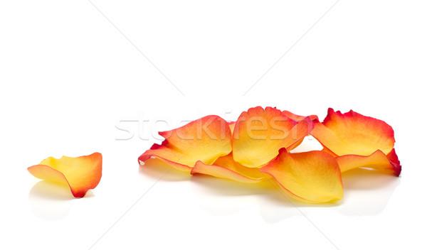 Rozenblaadjes geïsoleerd witte bloem blad Rood Stockfoto © karandaev