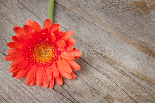 Orange gerbera flower on wooden background Stock photo © karandaev