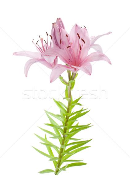 Сток-фото: розовый · Лилия · изолированный · белый · цветок · весны