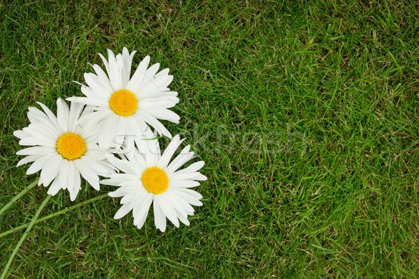 три ромашка цветы зеленая трава копия пространства весны Сток-фото © karandaev