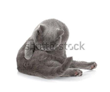 Grigio cat pulizia pelliccia isolato bianco Foto d'archivio © karandaev
