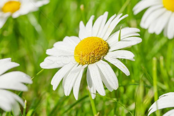 Chamomile flowers on grass field Stock photo © karandaev